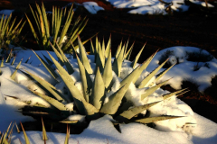 agave-3-s
