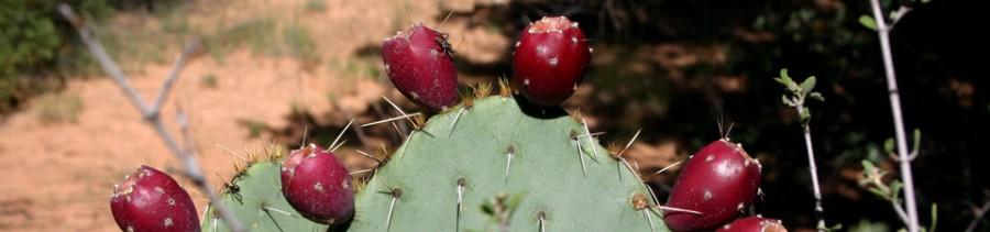 sedona arizona prickly pear cactus